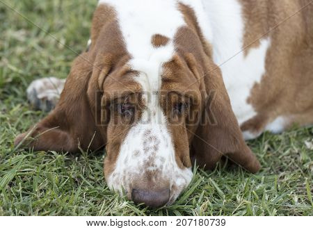 Brown and White spotted Basset Hound Puppy