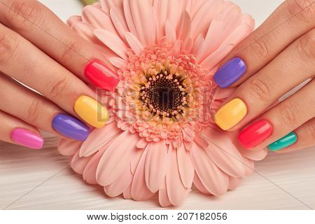 Colorful manicure and peach color gerbera. Well-groomed female hands with colorful summer manicure holding gentle gerbera flower. Nail treatment and spa.