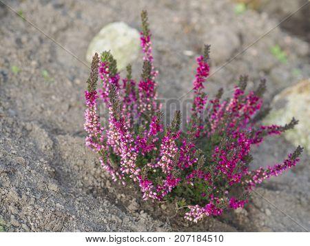 Blooming Fresh Purple Pink Heather Plant On Beige Dirt Background