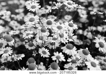 Black and white photography of chamomile flowers