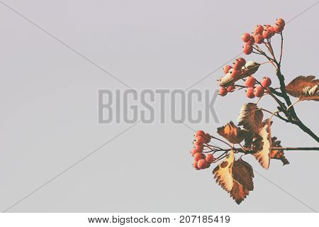 Branch of hawthorn berries with vintage effect