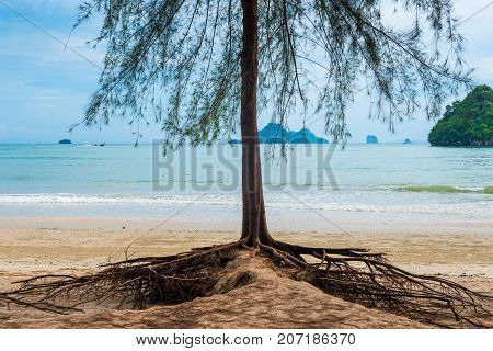Tree With Branchy Roots On A Sandy Beach In Thailand
