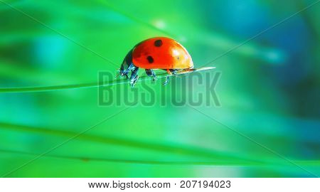 ladybird in the green and blue nature, macro