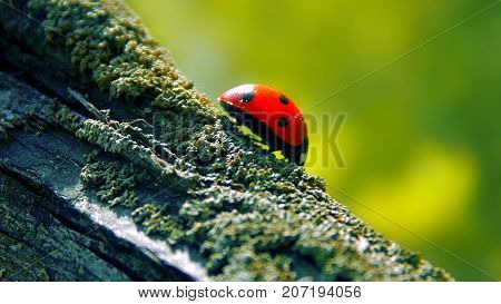 ladybird in the moss in beutifull nature