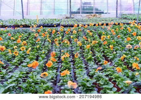 orange flower production in green house agriculture production cultivation