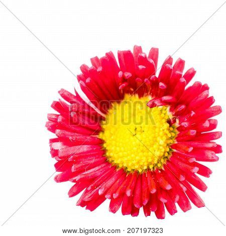 close-up of Rob Roy or Bellis perennis on white background with copy space. macro spring and summer border template floral. mockup greeting and holiday card.