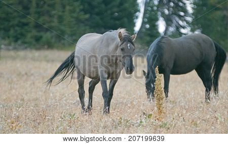 Wild Horse - Grulla Gray pregnant mare walking in the afternoon in the Pryor Mountains Wild Horse Range on the border of Montana and Wyoming United States