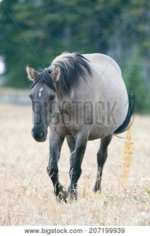Wild Mustang Horse - Grulla Gray pregnant mare walking in the afternoon in the Pryor Mountains Wild Horse Range on the border of Montana and Wyoming United States