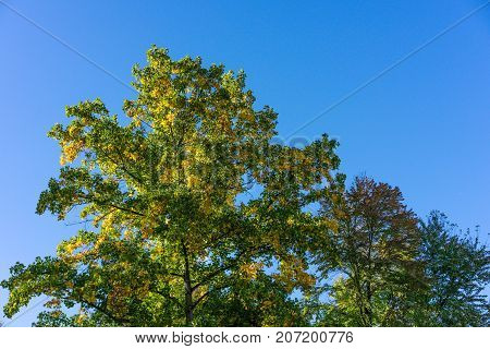 tree in autumn fall season with sky green red yellow colour end of summer blue sky clouds