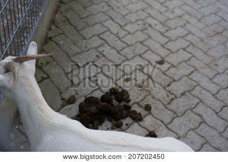 white goat with excrement on floor in animal farm back view