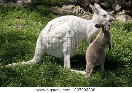 the albino wallaby and brown joey are in a grassy paddock