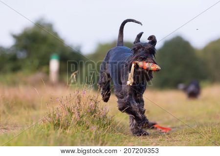 standard schnauzer runs with a treat bag in the snout on a country path