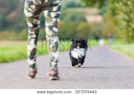 Pekinese Dog Approaching To A Person