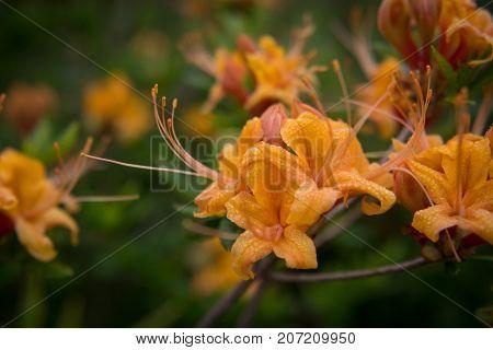 Dew On Flame Azalea Blooms