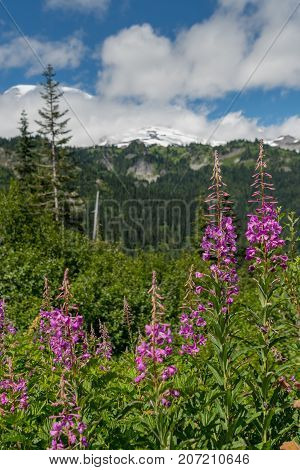 Fireweed Bloom In Mountains