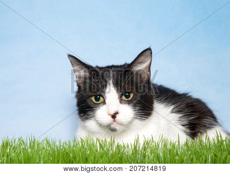 Portrait of a black and white kitten laying begrudgingly in green grass looking directly at viewer. Light blue background sky with wispy clouds