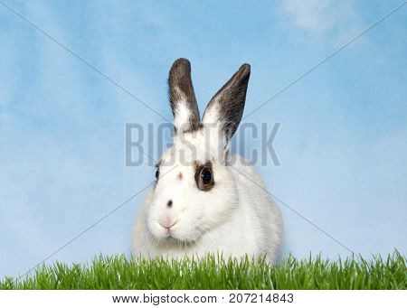 Portrait of a white bunny with black spots on eyes and ears laying in green grass looking to slightly to viewers left. Blue background sky with wispy clouds