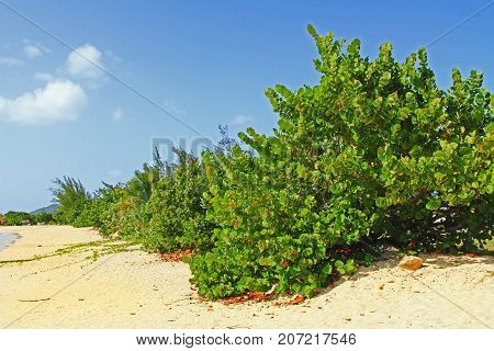 Sea grape trees on a beach with copy space in Antigua Barbuda Lesser Antilles, West Indies, Caribbean.