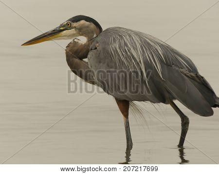 Heron egret watching for prey standing water background