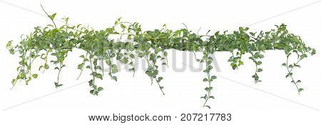 Vine leaves ivy plant isolated on white background clipping path