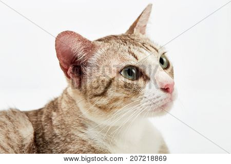 Portrait of a surprised American Short hair cat lying on white background isolated