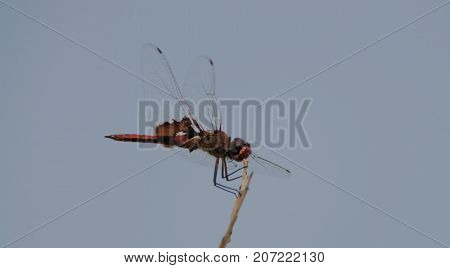 A red-mantled saddlebad dragonfly sitting on a tree branch in Johua Tree National Park
