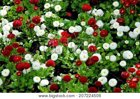 Summer floral background of nature-the flowers of Bellis perennis. Summer landscape with flowering Bellis perennis. Close up of summer flowers.Summer flowers background-Bellis perennis
