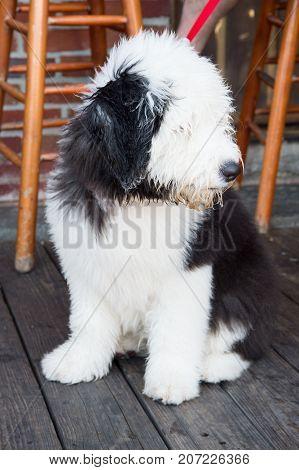 Dog Puppy Sitting On Wooden Floor In Key West, Usa