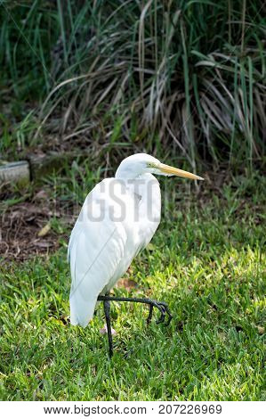 Heron Or Great Egret Walking On Green Grass In Usa