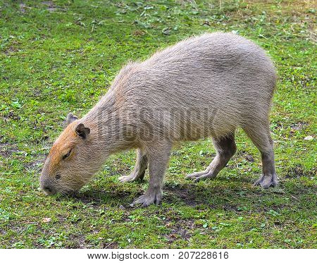 Funny capybara eats grass in the enclosure at the zoo. The capybara is the largest living rodent in the world. Capybara portret close up