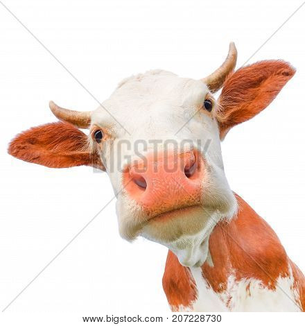 Funny cow looking at the camera isolated on white background. Spotted red and white cow with a big snout close up. Cow muzzle staring close up.