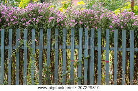Bushes of lilac garden flowers in the backyard. Bushes of lilac garden flowers behind a blue fence. Wooden palisade fencing garden