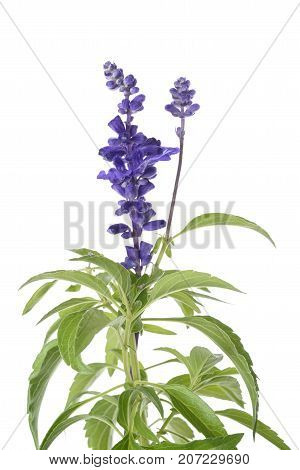 Salvia Farinacea Flowers