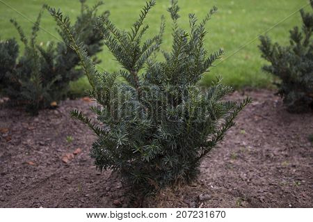 The english yew young bushes trees in the park