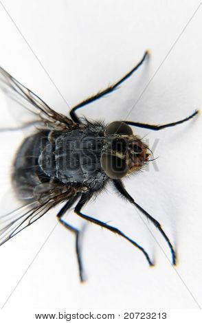 fly macro common vertical on a white background poster