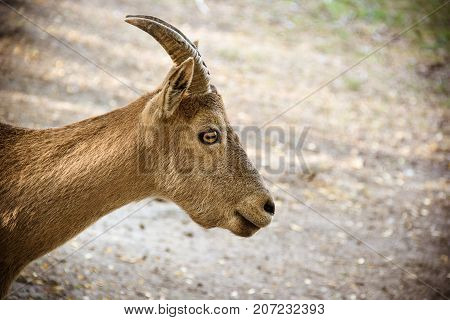 Mountain goat on natural natural background. Portrait of mountain goat in profile