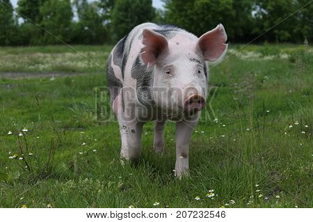 Head of young pig on pasture summertime