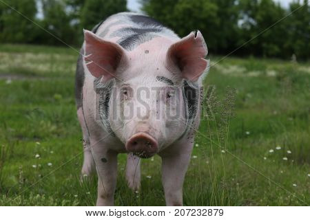 Head shot closeup of a young pietrain pig on the meadow green grass with wildflowers