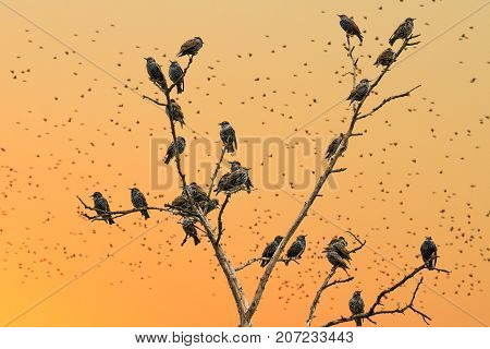 starlings sitting on the branches on a background of orange sky , wildlife and bird migration