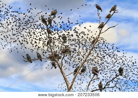 starlings sitting on the branches against the sky with flocks of birds , wildlife and bird migration