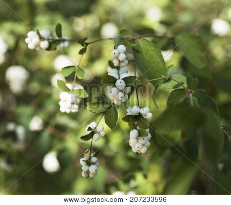 branches with white berries Snowplum ( Symphoricarpos albus) close up