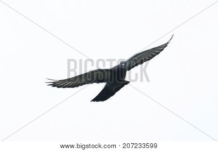 pigeon flying in the sky with full speed racing game sport coming back with stretched wings feral green blue bar wild