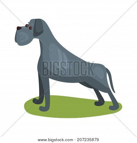 Cane corso dog, purebred pet animal standing on green grass colorful vector Illustration on a white background