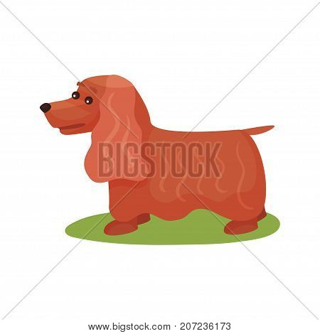 English cocker spaniel dog, purebred pet animal standing on green grass colorful vector Illustration on a white background
