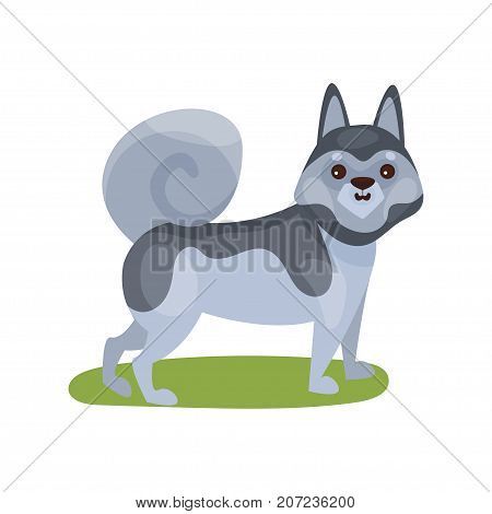 Siberian husky dog, purebred pet animal standing on green grass colorful vector Illustration on a white background