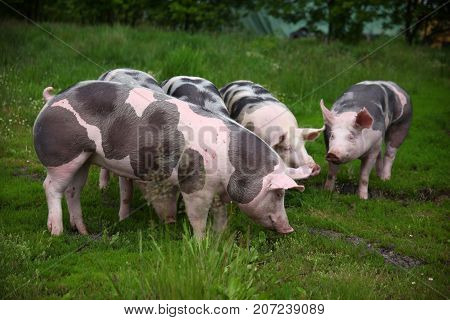 Group photo of young pigs on green grass near the farm