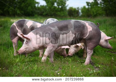 Side view photo of a pietrain young pig on the meadow