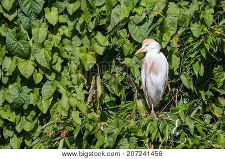 Bubulcus Ibis, Cattle Egret