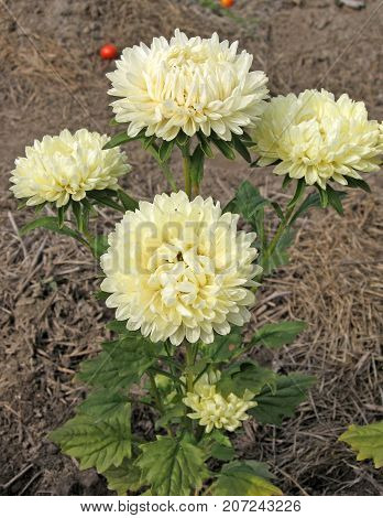 Beautiful yellow Aster blooming in the garden. Photo for backgrounds. Color photo of flowers. Aster flowers on a sunny day.