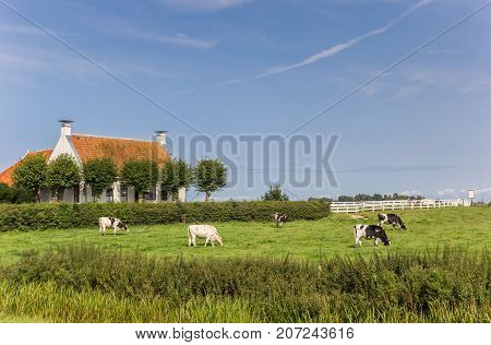 Cows in front of an old house in Groningen Netherlands